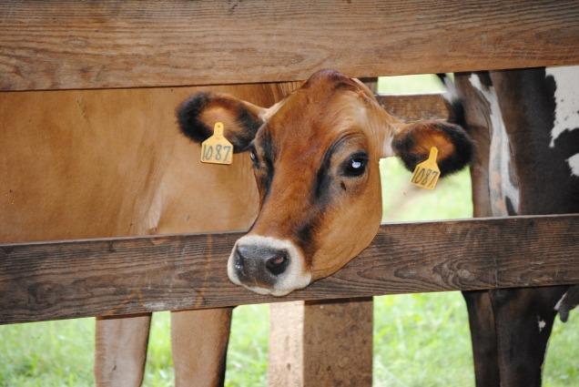 cow-1775200_1280