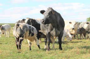 cow-2218072_1280