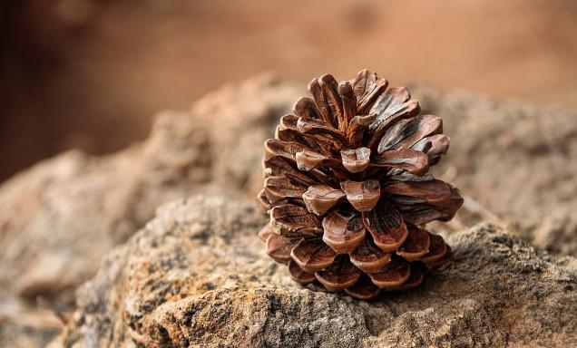 pine-cones-3198636_1280