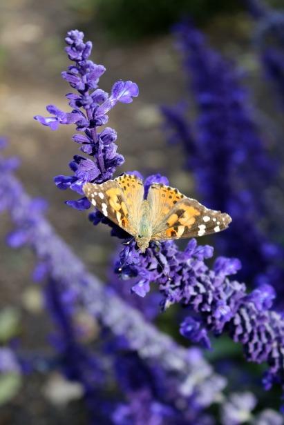 lavender-2829707_1280