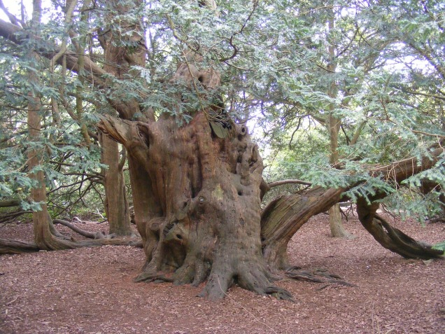 yew-tree-232712_1280