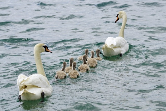 swans-2441210_1280